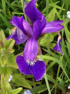 Close up of an iris.