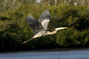 great-blue-heron-having-a-beautiful-flight